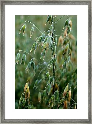 Ripening Oats Framed Print by Shirley Sirois