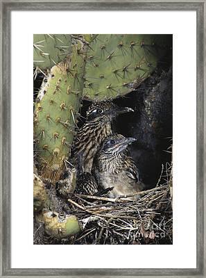 Roadrunners In Nest Framed Print by Anthony Mercieca