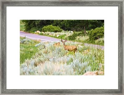 Roadside Buck Framed Print by Scott Pellegrin
