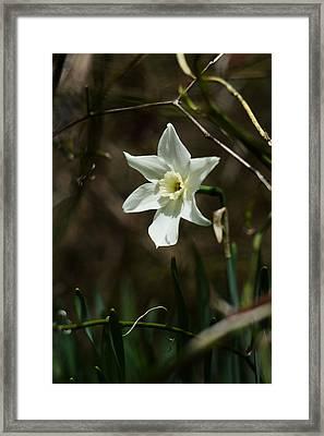 Roadside White Narcissus Framed Print by Rebecca Sherman