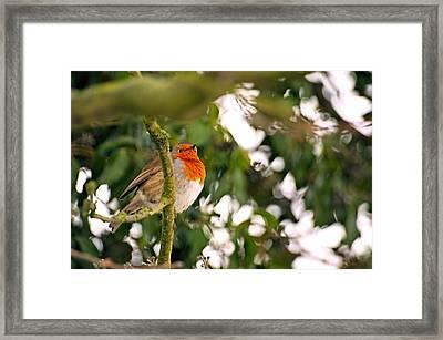 Robin  Framed Print by Dave Woodbridge