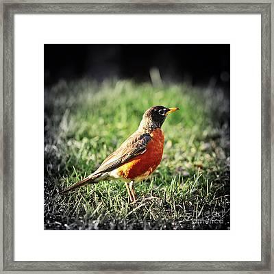 Robin Framed Print by Elena Elisseeva
