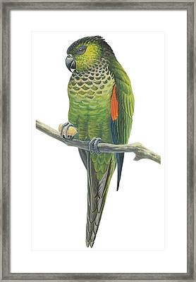 Rock Parakeet Framed Print by Anonymous