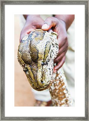 Rock Python Recovered From Poachers Framed Print by Peter Chadwick