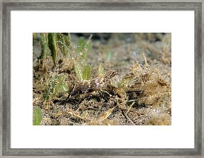 Rock Shrimp Leander Tenuicornis Framed Print by Andrew J. Martinez