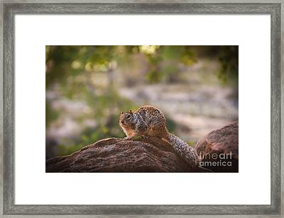 Rock Squirrel In Zion Framed Print by Robert Bales