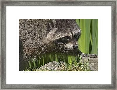 Rocky Raccoon Framed Print by Sharon Talson