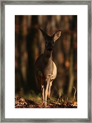 Roe Deer Female Framed Print by Dragomir Felix-bogdan