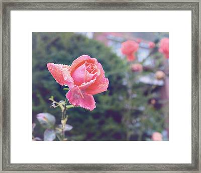 Roncesvalles Rose Framed Print by Tanya Harrison
