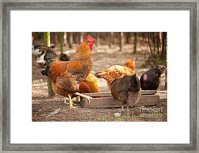 Eat Free Framed Print featuring the photograph Rhode Island Red Hens Eating From Feeder  by Arletta Cwalina