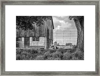 Rooster Turf Monochrome Framed Print by Steve Harrington