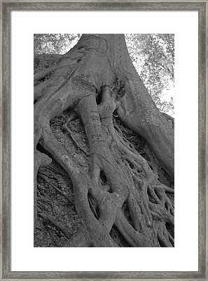 Roots II Framed Print by Suzanne Gaff