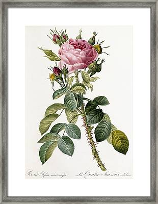 Rosa Bifera Macrocarpa Framed Print by Pierre Joseph Redoute