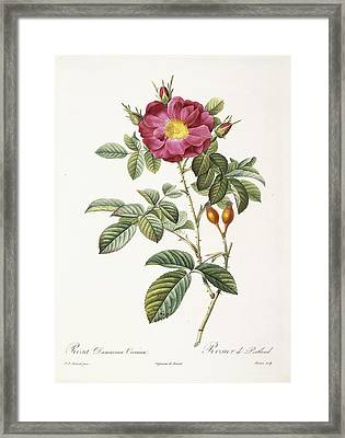 Rosa Damascena Coccina Framed Print by Pierre Joseph Redoute