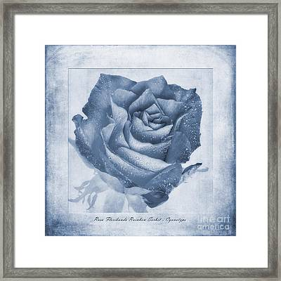 Rosa Floribunda Rainbow Sorbet Cyanotype Framed Print by John Edwards