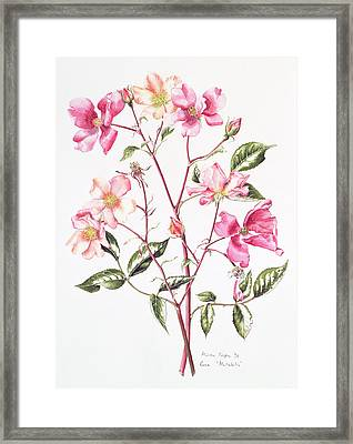 Rosa Mutabilis Framed Print by Alison Cooper