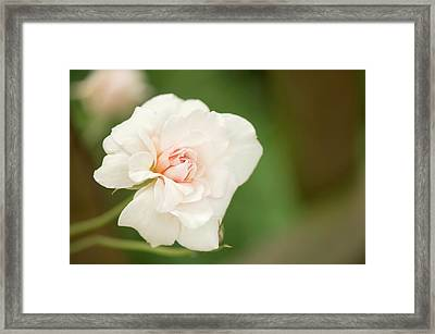 Rosa 'perle D'or' Flower Framed Print by Maria Mosolova