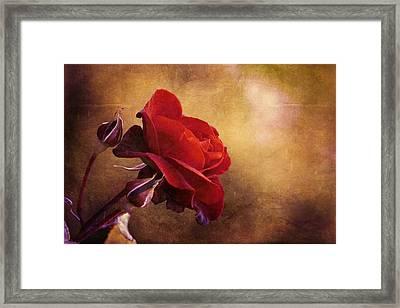 Rosa Rossa Framed Print by Orazio Puccio