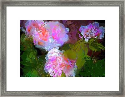 Rose 184 Framed Print by Pamela Cooper
