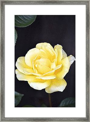 Rose 196 Framed Print by Pamela Cooper