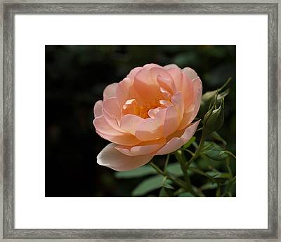 Rose Blush Framed Print by Rona Black