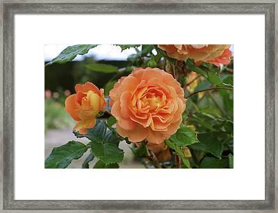 Rose Bowled Over (rosa 'tandolgnil') Framed Print by Neil Joy