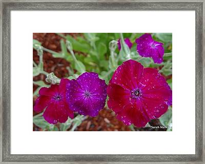 Rose Campion Framed Print by Sarah Malley