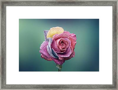 Rose Colorful Framed Print by Bess Hamiti
