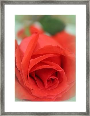 Rose D' Amour Framed Print by  The Art Of Marilyn Ridoutt-Greene