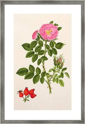 Rose Eglanteria Framed Print by T Goetz