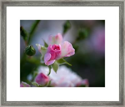 Rose Emergent Framed Print by Rona Black