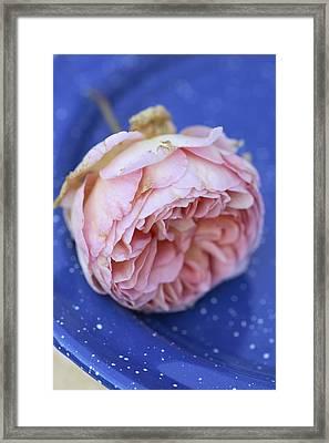 Rose Flower Framed Print by Frank Tschakert