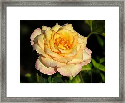 Rose In Dark Framed Print by Zina Stromberg
