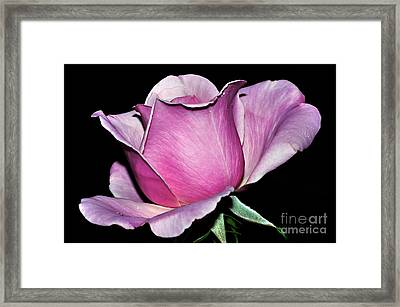 Rose In Pink And Mauve Framed Print by Kaye Menner