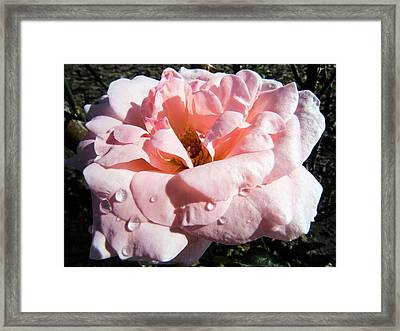 Rose Like Silk With Dew Framed Print by Zina Stromberg