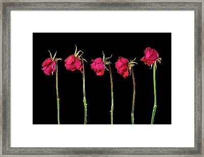 Rose Lineup Framed Print by Mauro Celotti