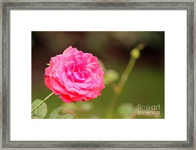 Rose Framed Print by Manuel Bonilla Photography