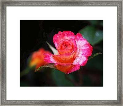 Rose Mardi Gras Framed Print by Rona Black
