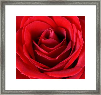 Rose  Framed Print by Mark Ashkenazi