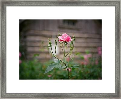 Rose Of Independence Framed Print by Linda Unger
