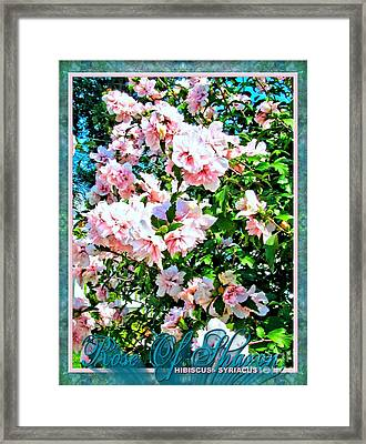 Rose Of Sharon -hibiscus Syriacus Framed Print by Margaret Newcomb