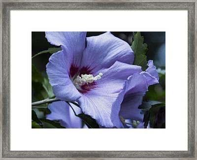 Rose Of Sharon Framed Print by Rebecca Samler