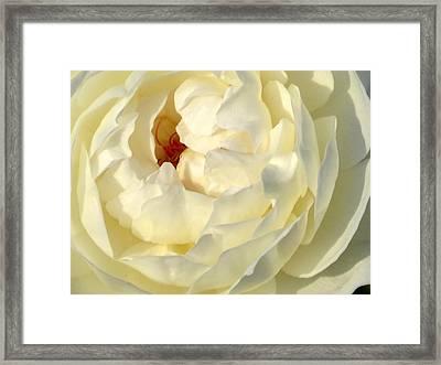 Rose Petals Framed Print by Zina Stromberg