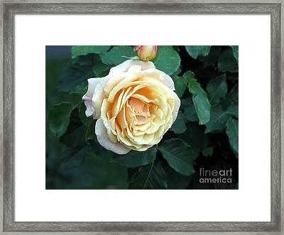 Rose Ros Framed Print by Yury Bashkin