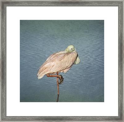 Roseate Spoonbill Framed Print by Kim Hojnacki
