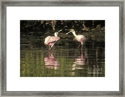 Roseate Spoonbill Framed Print by Ron Sanford