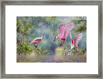 Roseate Spoonbill Trio Framed Print by Bonnie Barry