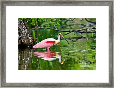 Roseate Spoonbill Wading Framed Print by Anthony Mercieca