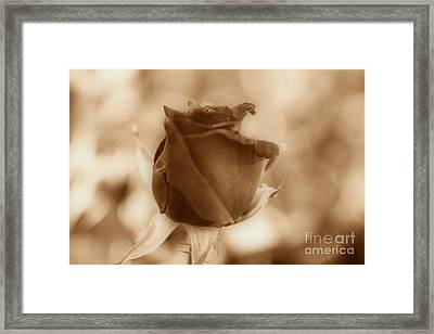 Rosebud Sepia Tone Framed Print by Cheryl Young