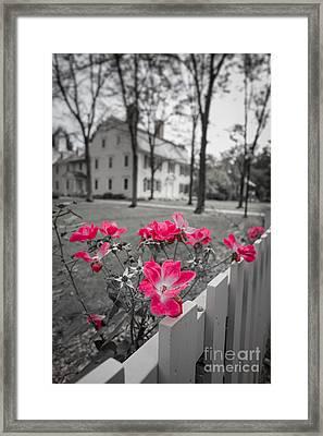 Roses Along A Picket Fence Deerfield Massachuesetts Framed Print by Edward Fielding